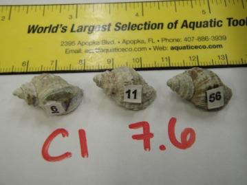 Nucella in ocean acidification experiment